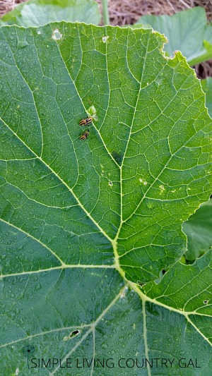 earn how to control cucumber beetles naturally without any chemicals. #organicgardening