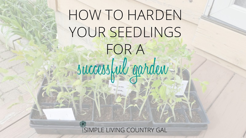 Harden up your fragile young seedlings before planting them in your garden to ensure they get the absolute best start. Have strong, healthy and heavily producing plants this year!