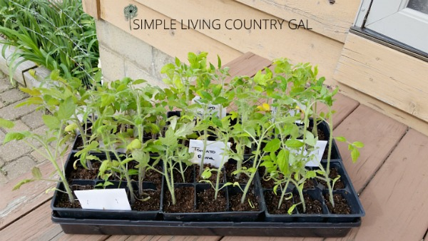 Harden your seedlings before planting them in your garden to ensure they get the absolute best start. Have strong, healthy and heavily producing plants this year!