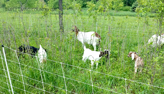 how to train your goats on electric fencing