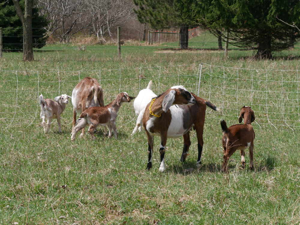 how to train goats on electric fence