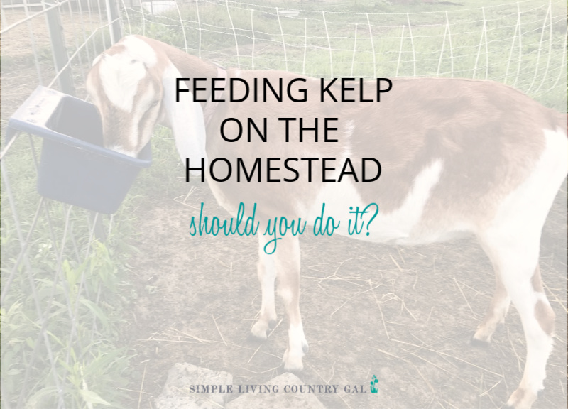 Feeding Kelp to Your Homestead Animals