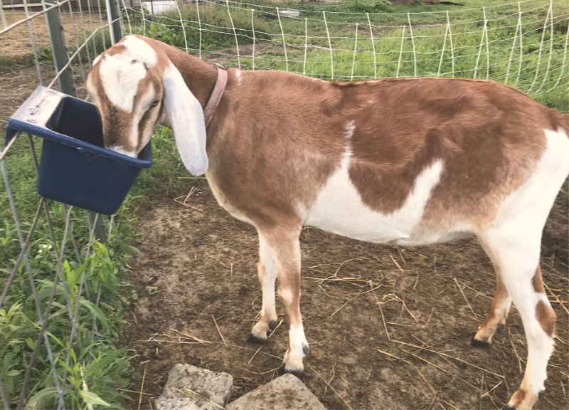 Feeding Kelp on the homestead is a great way to keep many animals healthy. Easy to use, animals love it, and a great way top discourage worms in goats and chickens I love to use kelp throughout my homestead. #homestead #goats #chickens #slcg