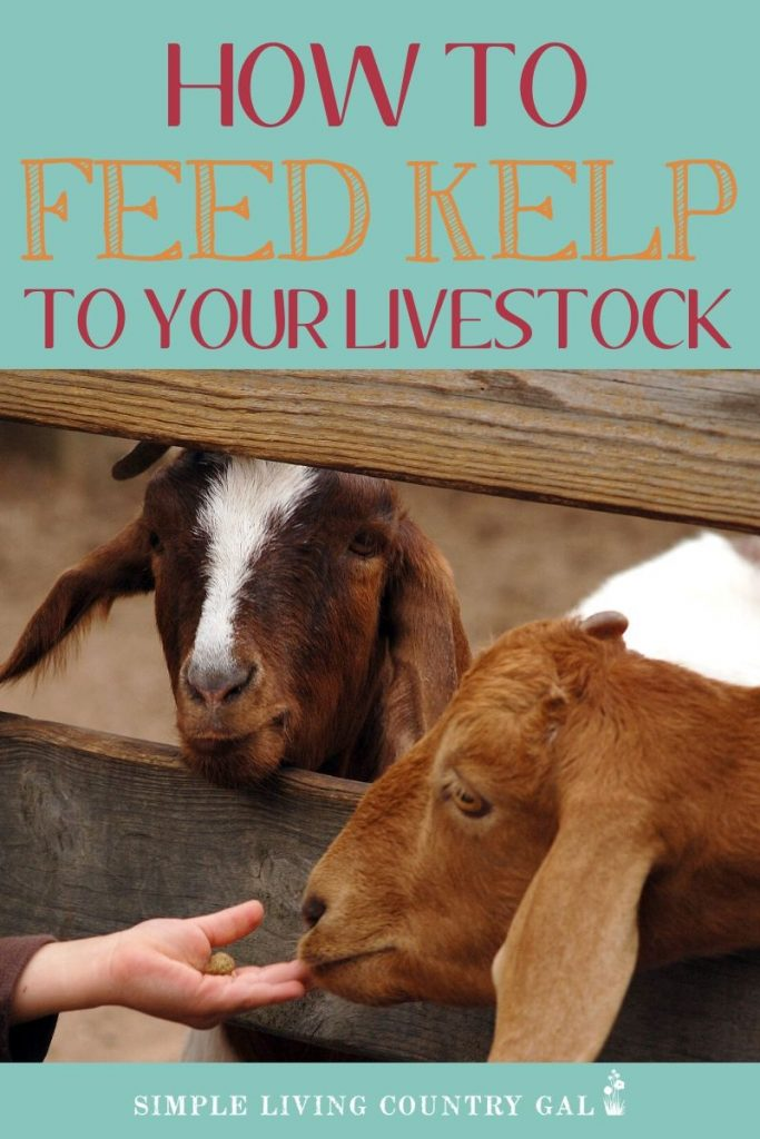 feeding kelp on your homestead is a great way to keep your livestock healthy.