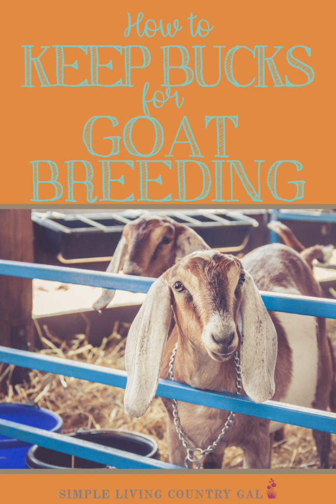 Are you new to goats and a bit nervous about your bucks this breeding season? Then read my checklist on how to safely house your bucks on your homestead and you can begin breeding this season. #goats #goatbucks #goatshelters