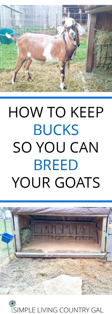 housing bucks on your homestead to breed goats