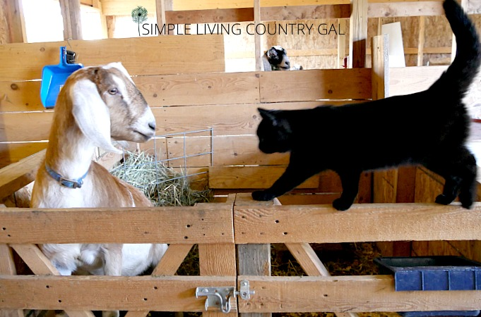 goat barn DIY