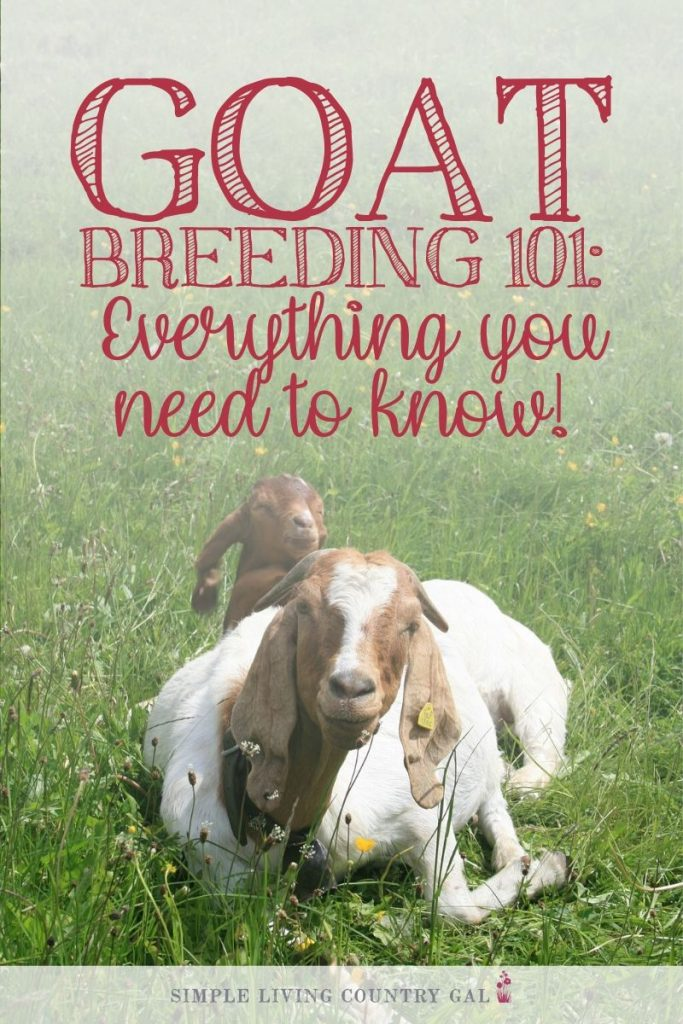 goats breeding goats