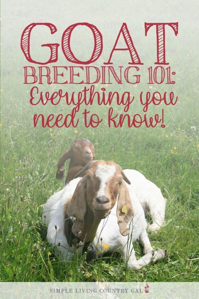 goats breeding goats