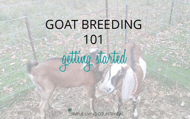 Goat Breeding 101: Getting Started