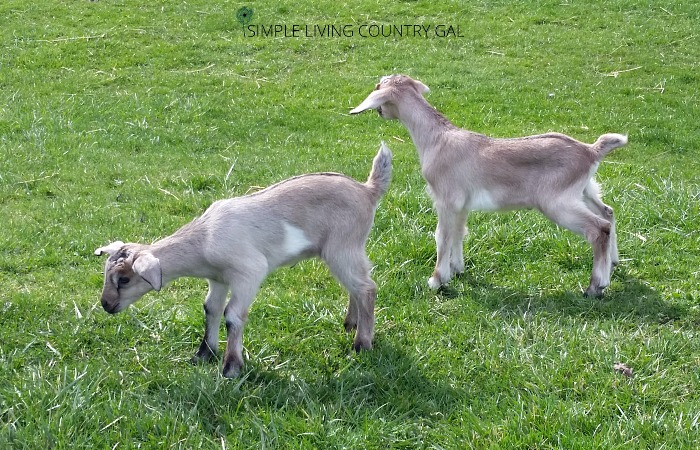 young female goats