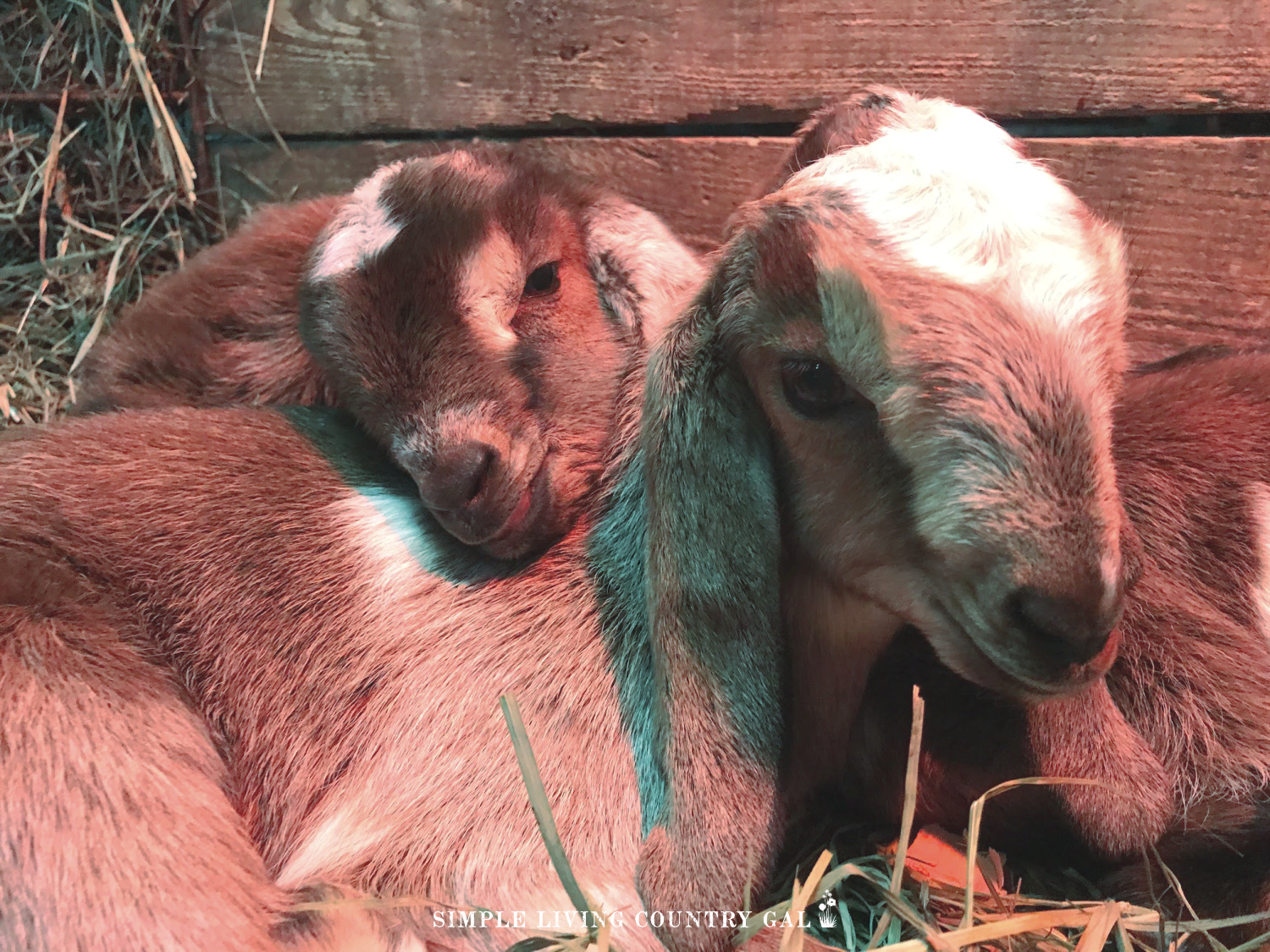 baby goat birthing kit