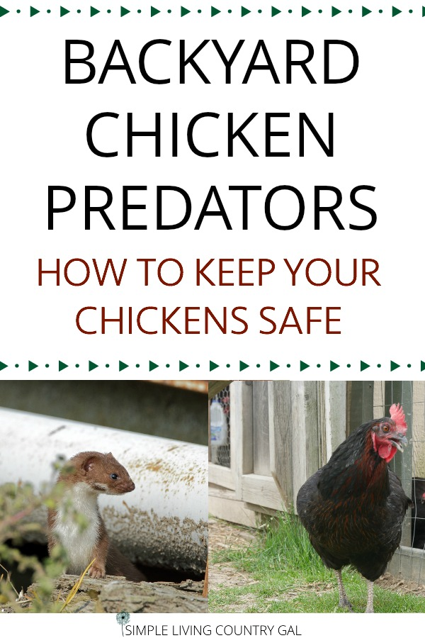 Keep chickens safe with a secure chicken coop