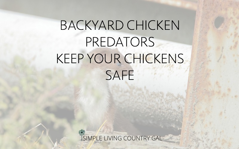 backyard chicken predators