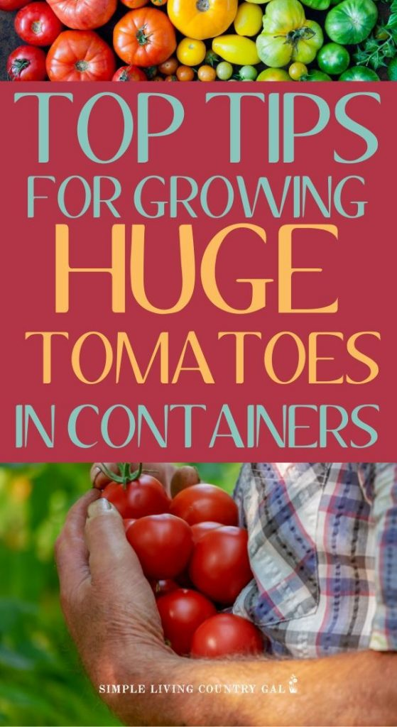 How to grow huge tomatoes in containers. Tips on growing huge tomatoes in containers on your porch. How to have a garden right outside your own back door. Gardening tips for beginners and a step by step on how to grow veggies in pots.