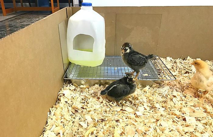 baby chick housing