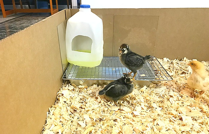 baby duckling housing DIY simple and easy to make. DIY brooder for ducklings