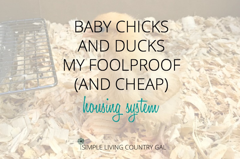 Baby Chicks and Ducks – My Foolproof (and cheap!) Housing System