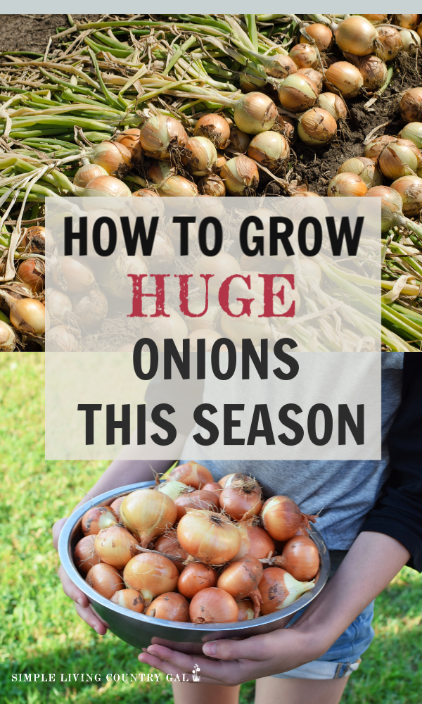 Looking to grow HUGE delicious onions? Here are a few of my very best tricks to try. A go to guide for any beginner gardener. Learn my tips on how to grow bigger onions. It's easier than you might think. #onions #gardening #backyardgarden #gardeningtips