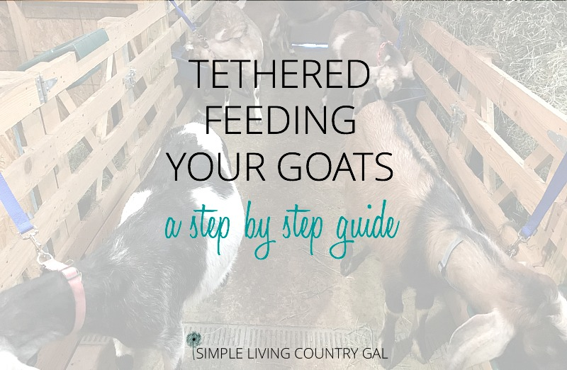 Feeding Dairy Goats – Training Rowdy Goats