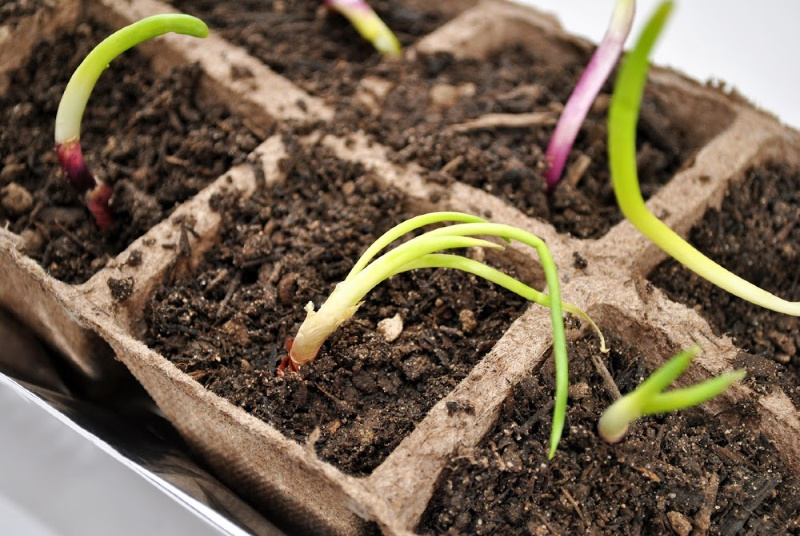onion seedlings. How to grow bigger onions