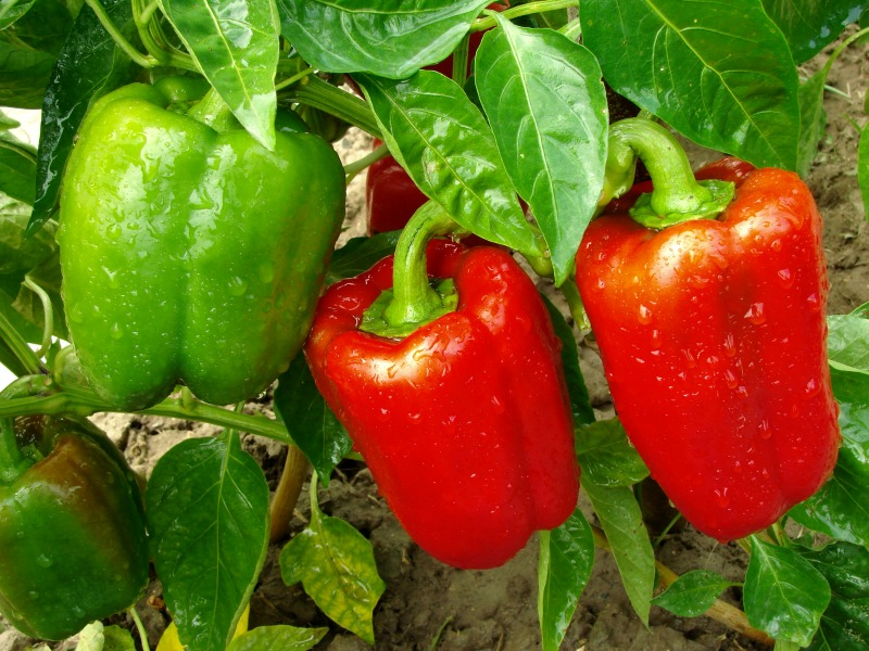 Pepper plant. How to grow peppers in containers