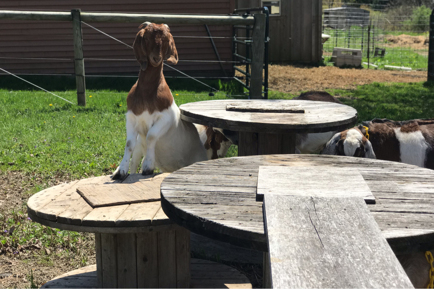 Get your goats out and exercising with this free DIY goat playground.