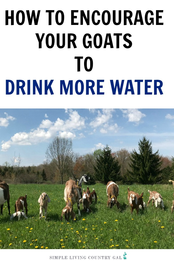 Dealing with worms and a herd that is not at its optimum health? It just might be in the water. Follow these tips to encourage your goats to drink more water. This will lessen worm outbreaks, increase milk production and strengthen the health of your herd. #goats #farming #urbanfarming