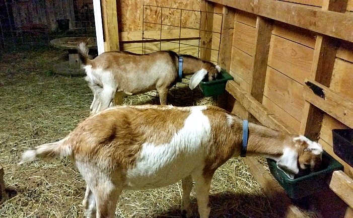 Goats eating in a barn. how to encourage goats to drink water