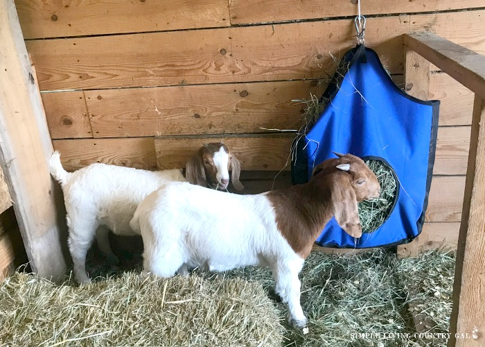 boar goats eating hay. List of goat breeds for pets