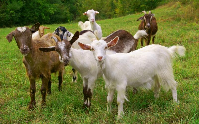 herd of goats. Goat breeds list