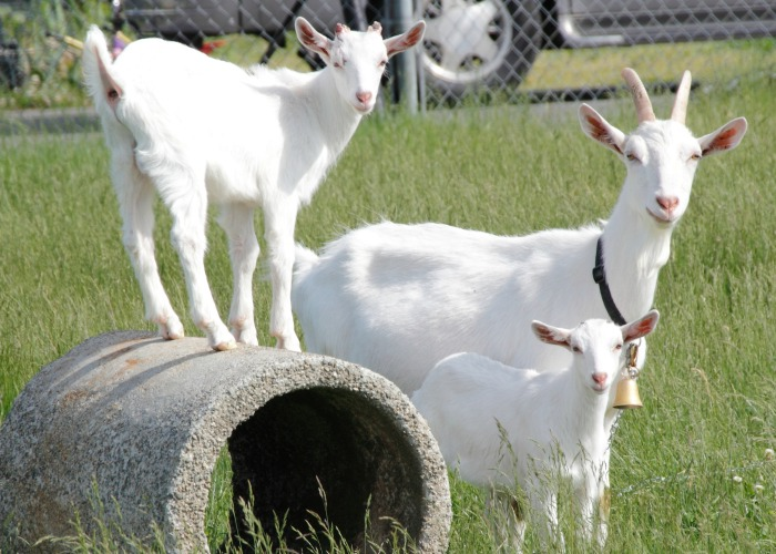 Goats in a pasture. how to go about planning projects on the homestead for the new year