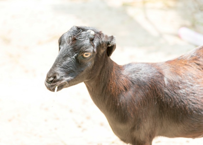 lamancha goat. How to pick the best goat breed for your family pet on your homestead