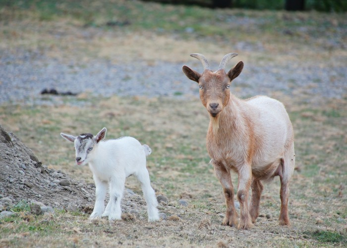 nigerian dwarf goat and her kid. A list of goat breeds to choose from