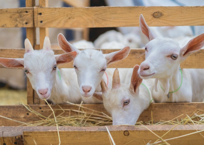 goats eating hay. Goat breeds list