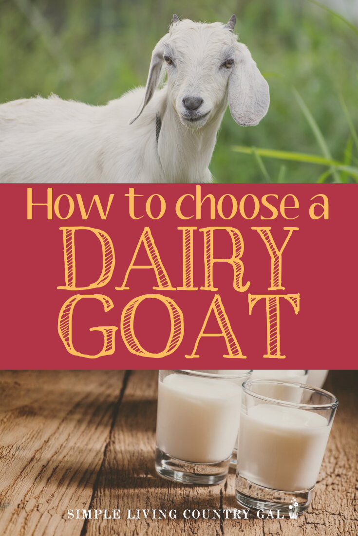 Not all goat breeds are created equal. Get the most butter fat and chose the very best goat for your farm. This list will lay out the pros and cons of each dairy goat breed so you can choose the very best fit for your family and your homestead. #goats #dairygoats #homestead #backyardgoats #backyardfarm