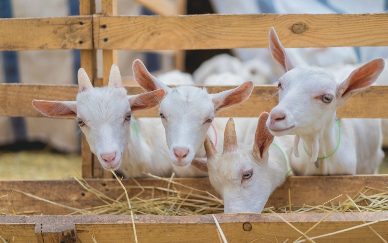 baby dairy goat breeds peaking through a fence