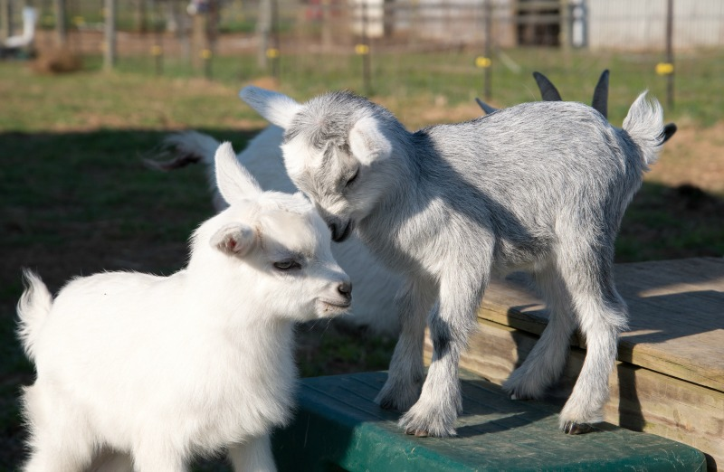 baby pygmy goat. Goat breeds for pets