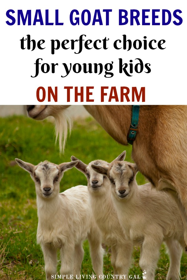 Do you have a young family or are you living on a small plot of land? Have you wanted to add goats but just thought you couldn't because your kids are too young or your land is too small? Guess again! Miniature goat breeds give you all the perks of raising goats without all the room requirements and now they are easier to find than ever! #goats #dairygoats #miniaturegoats #dwarfgoats #urbanfarm #farm #homesteading