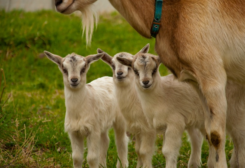 Baby goats. Miniature goat breed for the small family