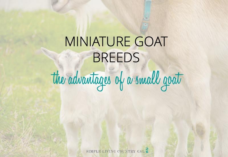Miniature Goat Breeds