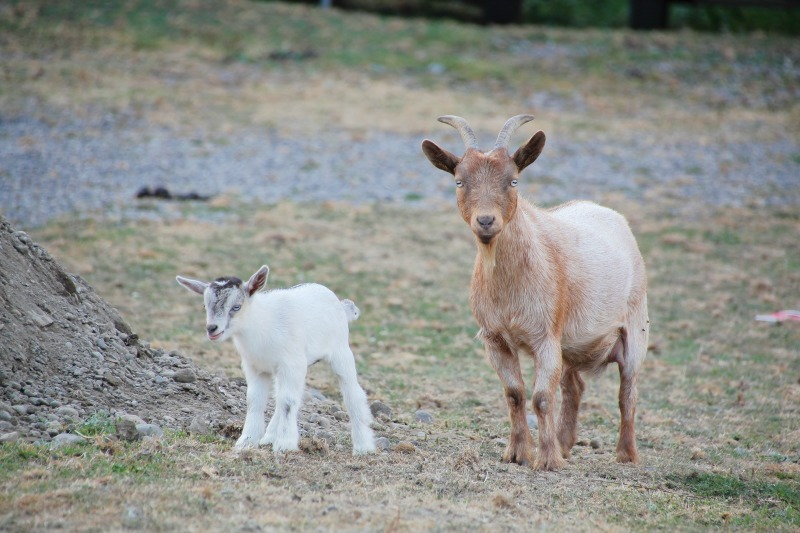 nigerian dwarf doe and kid. My top goat breeds for pets