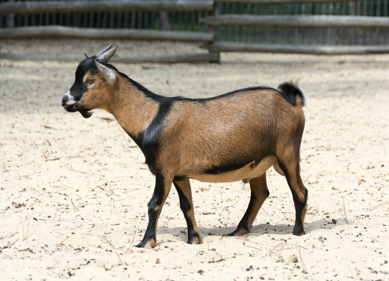 Miniature Goat Breeds | Simple Living Country Gal