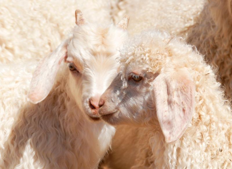 baby angora goats. Pygora and Nigoa cross goats. A wonderful small goat breed for your farm!