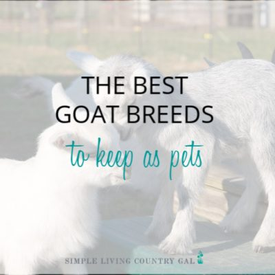 Pygmy goats. Best goat breeds to use at family pets