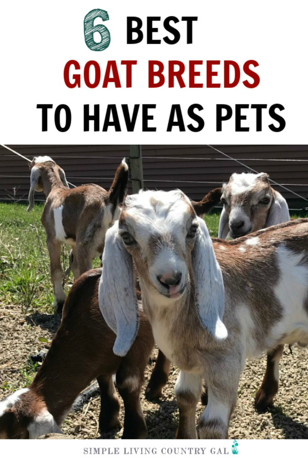 Don't you just love the videos of all the adorable baby goats and you are thinking of adding one to your family? Well, guess what, those little goats grow up and big. This list of goat breeds for pets will help you pick the best goat for your family and homestead. #goatsforpets #goatpets #goats