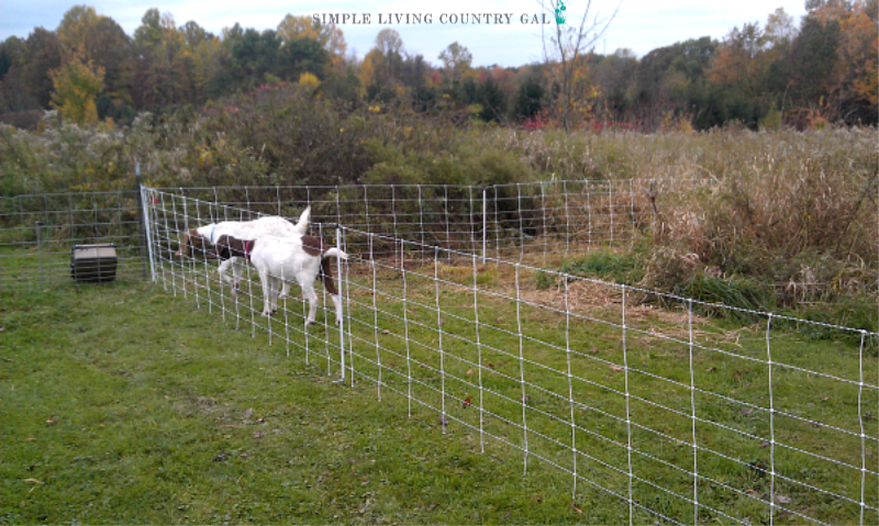 goats in a fence. The best goat breeds for pets