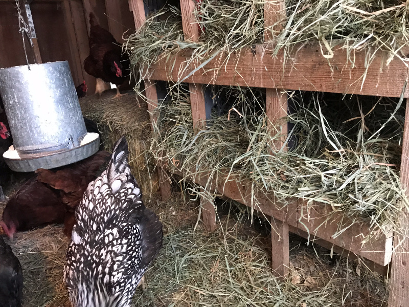Nesting boxes stuffed with fresh straw. A way to keep eggs from freezing in winter