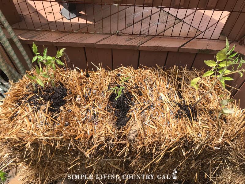 A straw bale garden guide. How to set up and grow vegetables in straw bales.