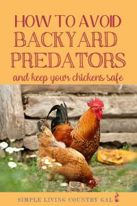 Want to keep your chickens and ducks safe from predators? I have a few tips that can help. A step by step guide on how to keep your backyard chickens safe from predators. Stop attacks before they start, keep chickens and eggs safe. #chickens #chickencoop #slcg